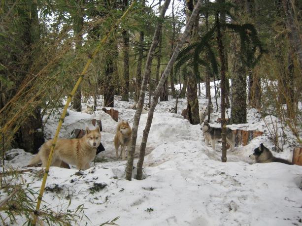 Cães husk siberianos e malamutes do alasca da region IX próximo ao vulcão villarica em Pucón.