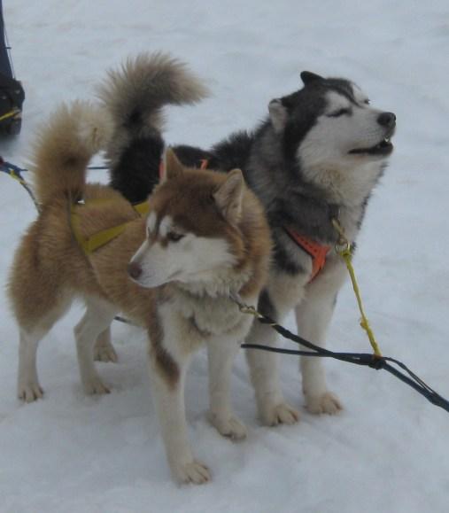 Cães que puxam trenós em villarica no chile