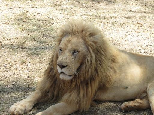 Leão branco macho no Lion Park Johannesburg