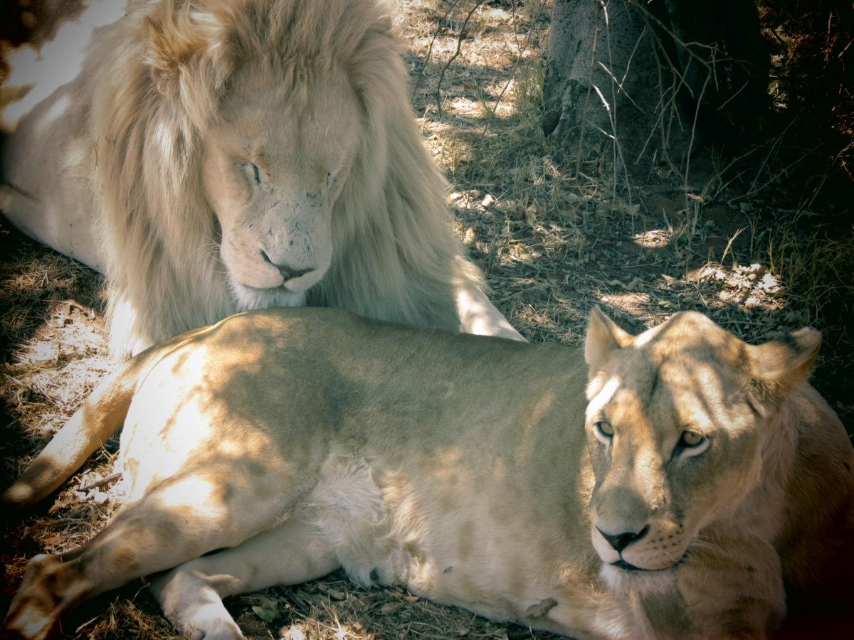 Johannesburg: O famoso Lion Park e algumas verdades...
