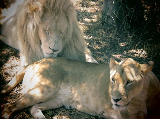 casal de raros leões brancos no lion park em Joanesburgo