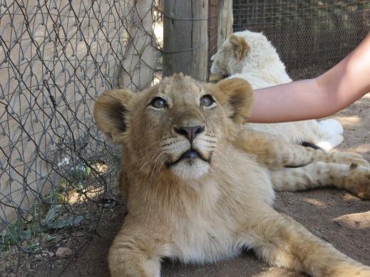 Interação com filhote de leão no Lion Park