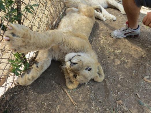 Filhote de leão na creche do lion park