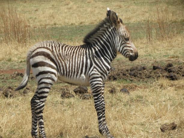 Zebra no Rhino e Lion Park próximo a Joanesburgo