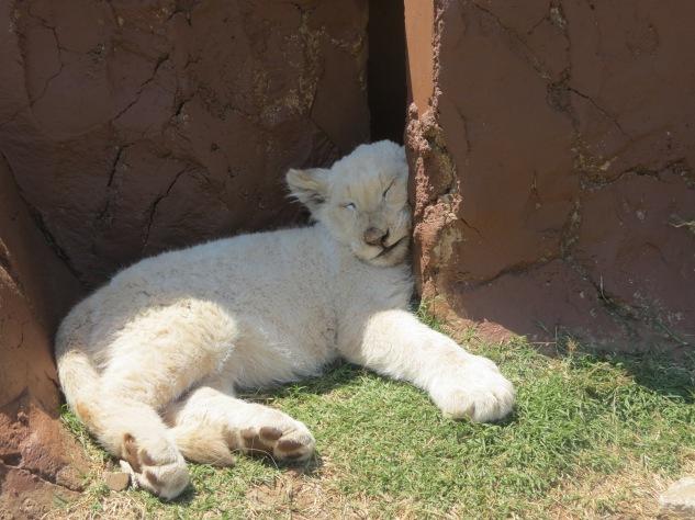 interação com filhote de leão branco no rhino and lion park