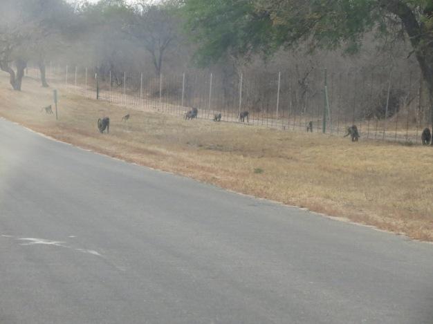 Babuínos atravessam a estrada em frente ao portão de acesso ao Eastgate Airport
