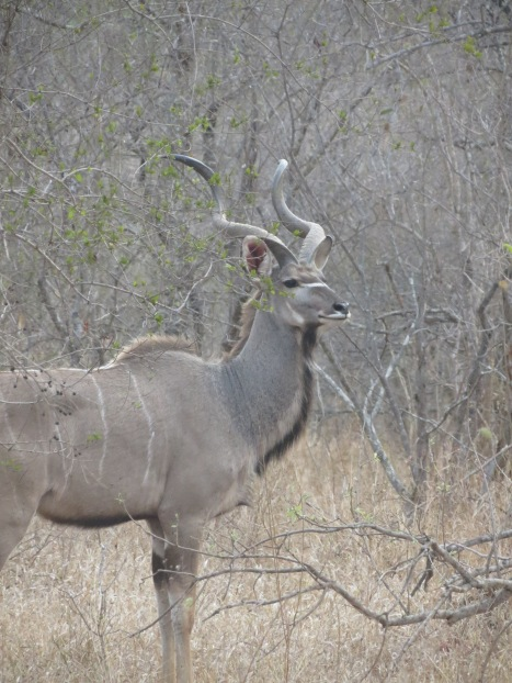 Kudu avistado durante o safári no Kapama Game Reserve