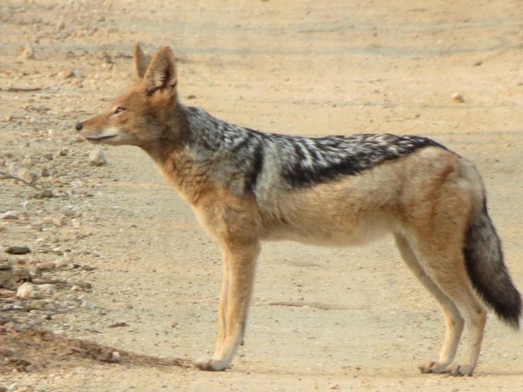 Chacal é visto no safári no Kapama Game Reserve
