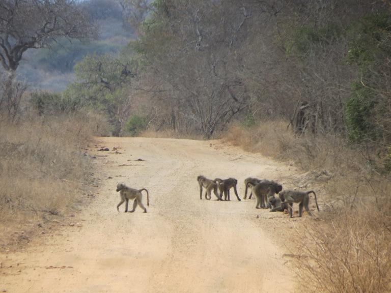 Babuínos atravessando a estrada no safári do Kapama Game Reserve