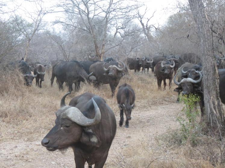 Um grande grupo de búfalos encontrados no terceiro safári no Kapama Game Reserve