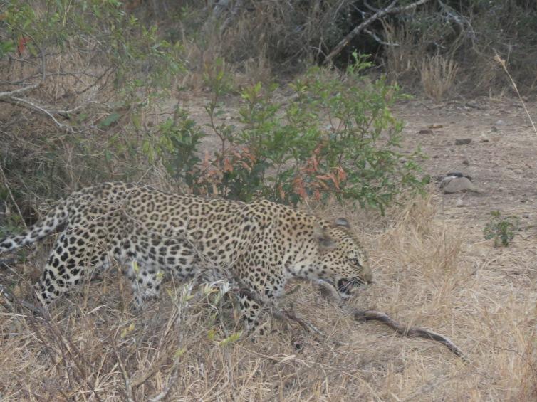 Leopardo atravessa em frente ao jipe durante o safári no Kapama Game Reserve