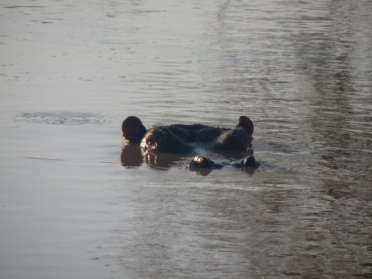 Hipopótamo no Kapama Game Reserve