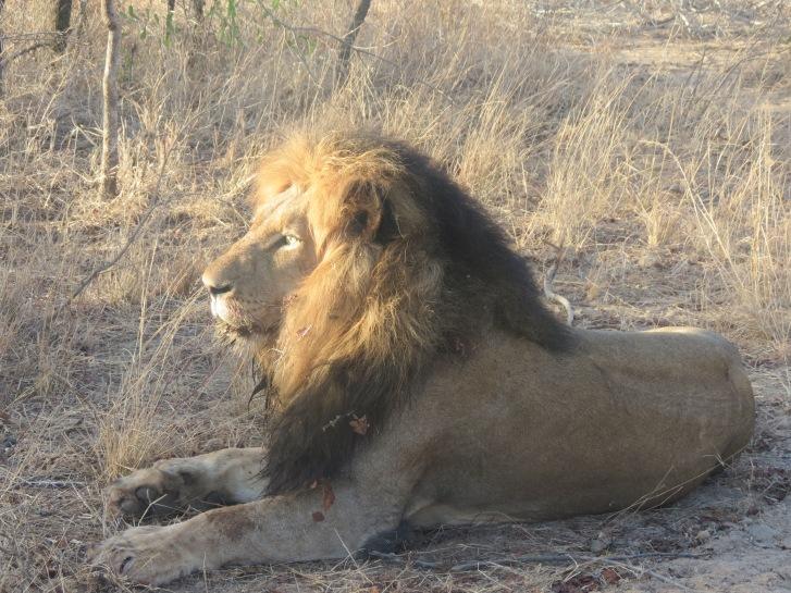 Grande leão macho que encontramos no quarto safári