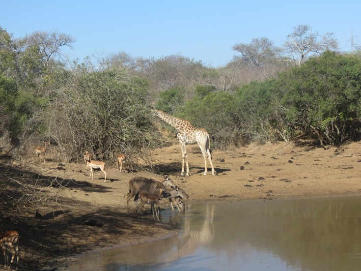 Girafa e ímpalas bebem água no lago no Kapama Game Reserve
