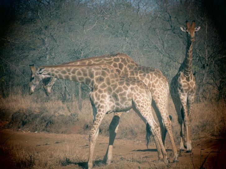 Girafas batendo pescoço no safári do Kapama Game Reserve