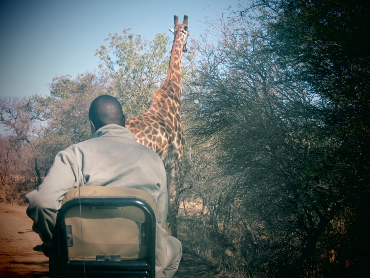 Girafa faz o jipe parar enquanto dirigíamos para o aeroporto no Kapama Game Reserve