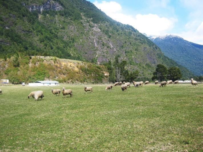 Ovelhas nos pastos em Peulla
