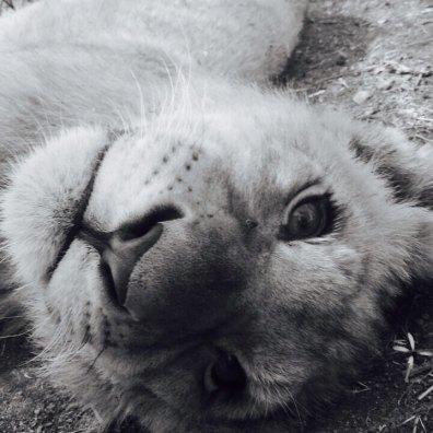 Filhote de leão no Lion Park em Joanesburgo