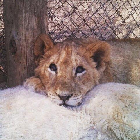 Filhote de leão em um parque em Joanesburgo