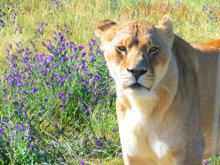 Lions Drakenstein Lion Park