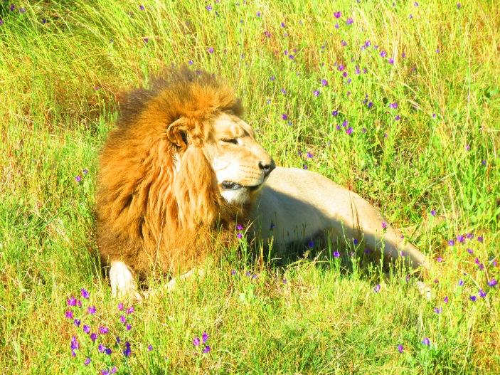 Leão com sequelas em Drakenstein
