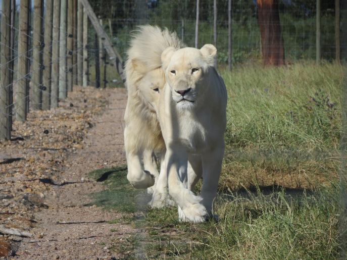 Leões Brancos Drakenstein Lion Park