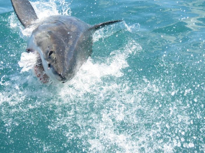 Mergulho Tubarão Branco 3