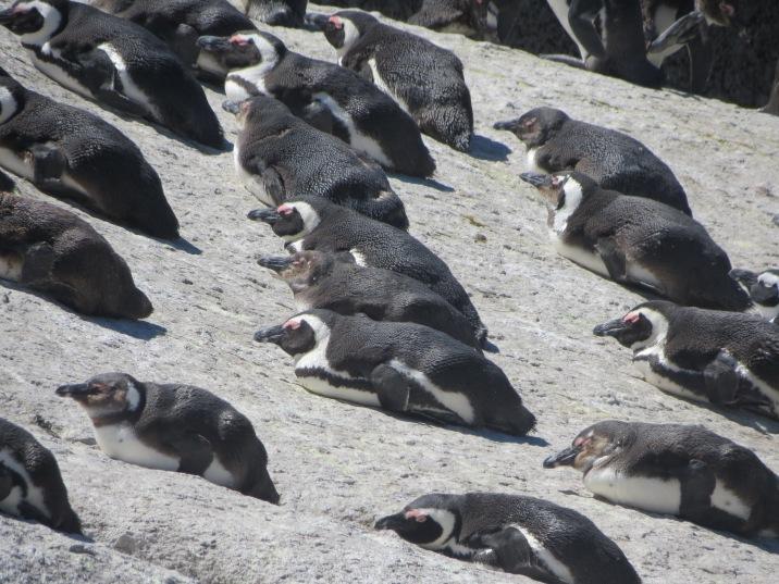 Pinguins Cidade do Cabo 2