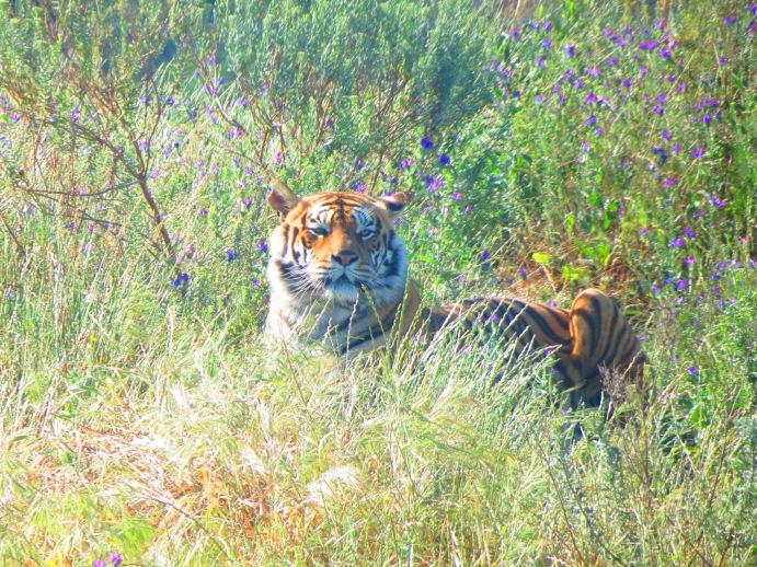 Tigre no Drakenstein