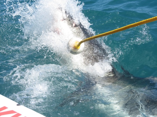 tubarão branco cape town