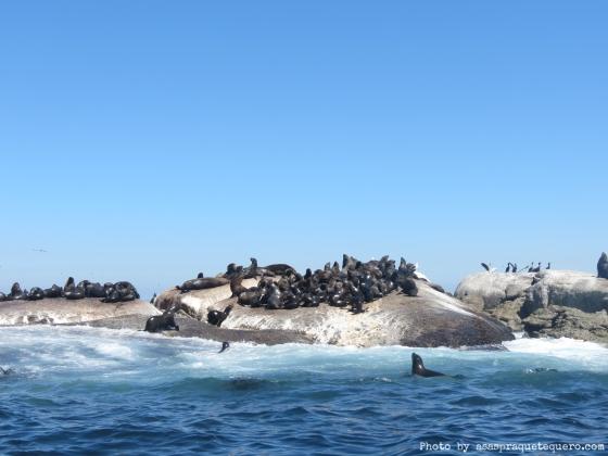 Duiker Island focas