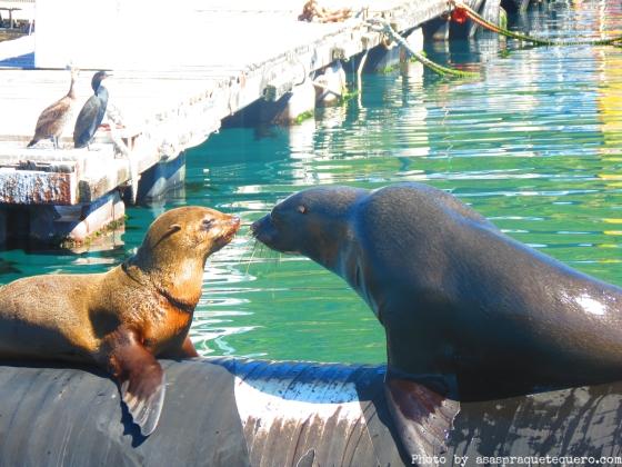 Lobos marinhos Cape Town