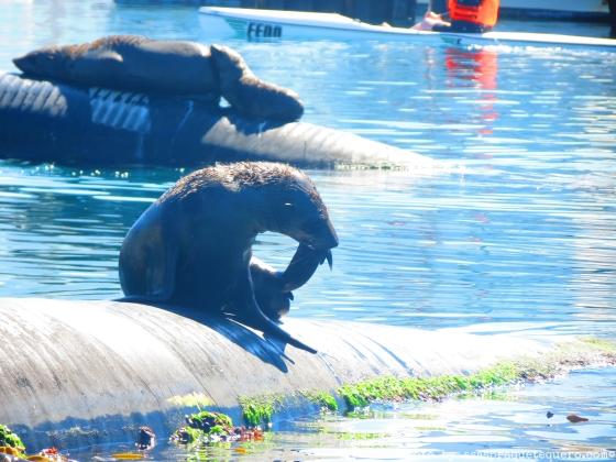 Lobos marinhos tomam sol em Hout Bay