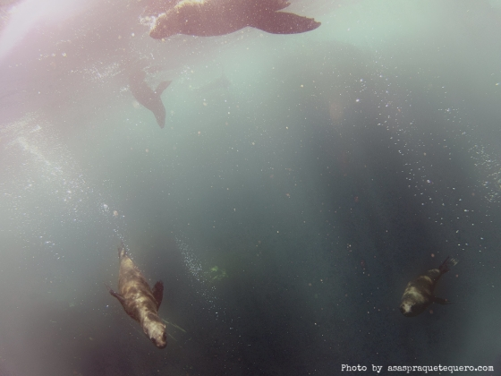 lobos marinhos nadando