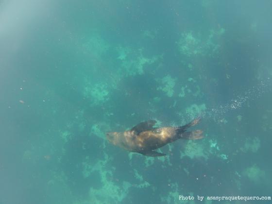 Lobo marinho nadando